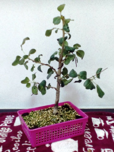 Bonsai Alambrado de manzano - jaudetb