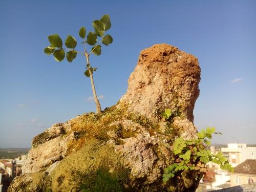 Bonsai Fresno (Fraxinus ornus) y culantrillos de pozo en pradera de montaña. - Fernando ballester martinez