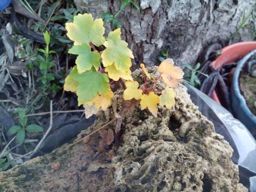 Bonsai arce autóctono germinado de semilla 4 añitos(acer opalus granatense) - Fernando ballester martinez