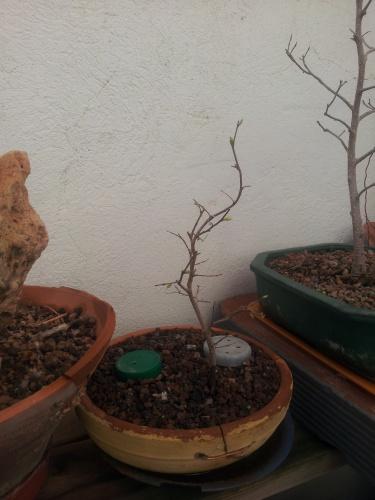 Bonsai semilla del 2012 - SARRUT