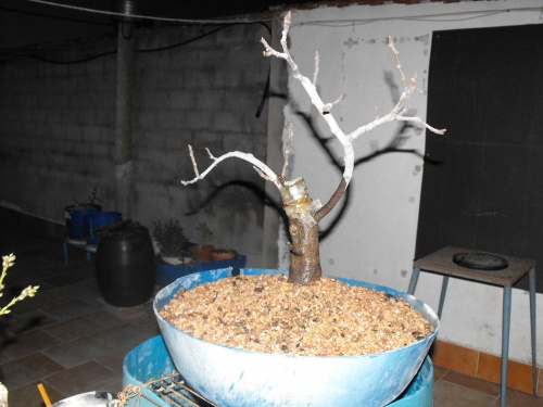 Ficus Carica esqueje del 2013