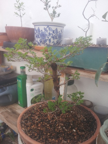 Bonsai 13596 - SARRUT