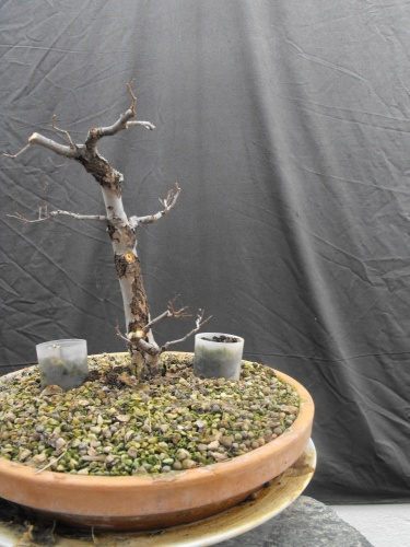 Bonsai 13600 - SARRUT