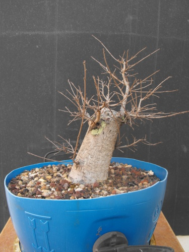 Bonsai 13604 - SARRUT