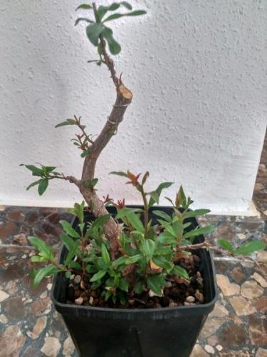 Bonsai 13708 - porsa