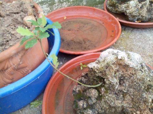 Bonsai Roble ( Quercus petraea) - Fernando ballester martinez
