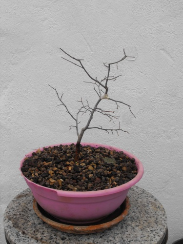 Bonsai 13732 - SARRUT