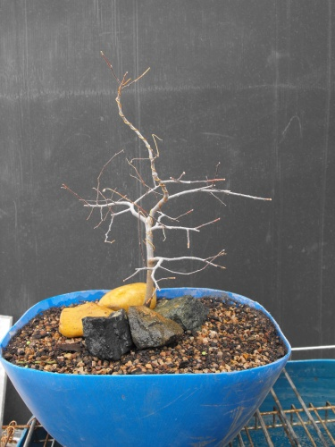 Bonsai 13740 - SARRUT