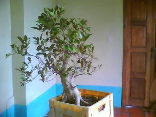 Bonsai 13800 - lazaro