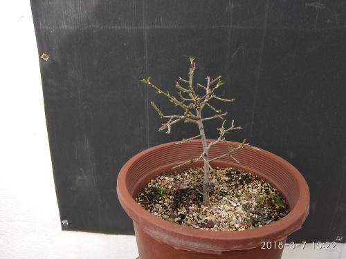Bonsai Almendro semilla del 2017 - SARRUT