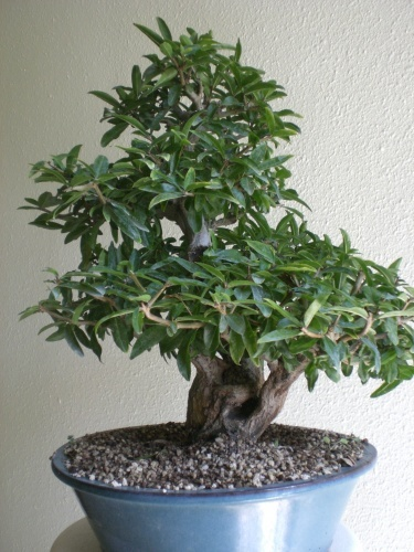 Bonsai Granado - vicente solbes