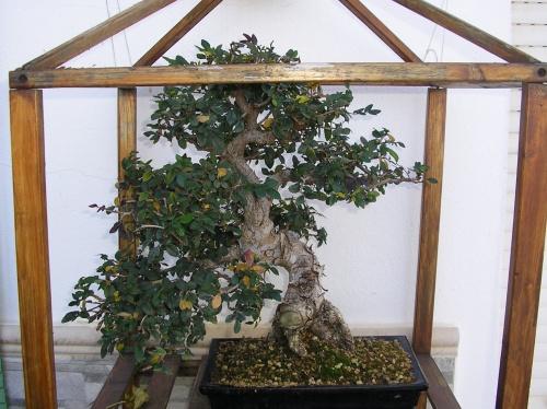 Bonsai Olmo chino - nuno