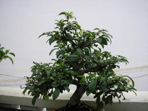 Bonsai Manzano sieboldi - nuno