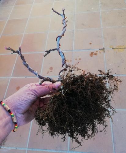 Bonsai HIGUERA DOBLE TRONCO-TRASPLANTE 2019/03/07 - rafarivas