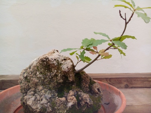 Bonsai 13960 - Fernando ballester martinez