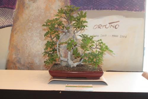 Bonsai Bonsai de Higuera sobre Roca - Club Bonsai Novelda - torrevejense