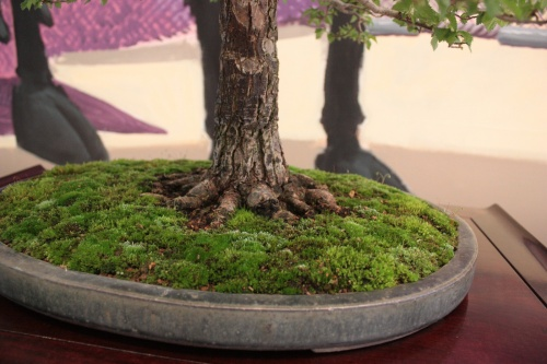 Bonsai Detalle de las raices - Ulmus Minor - Jaume Canals - torrevejense