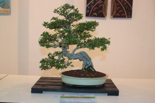 Bonsai Bonsai Zelkova Parvifolia con Raices Aereas - torrevejense