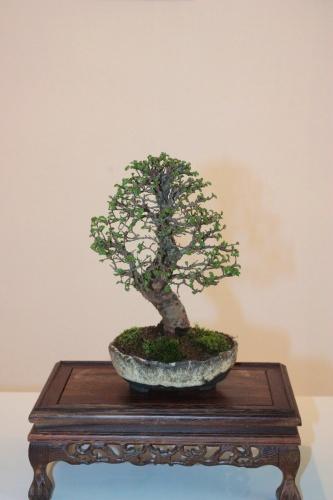 Bonsai Bonsai Zelkowa Parvifolia - Club Bonsai Oriol - torrevejense