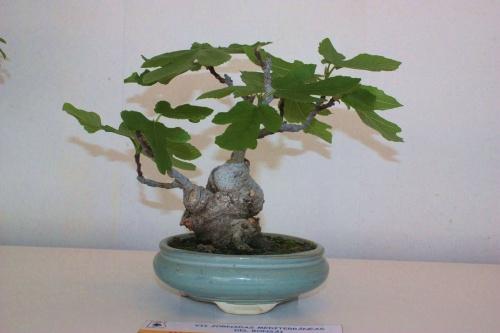 Bonsai Bonsai de Higuera de 15 años - torrevejense
