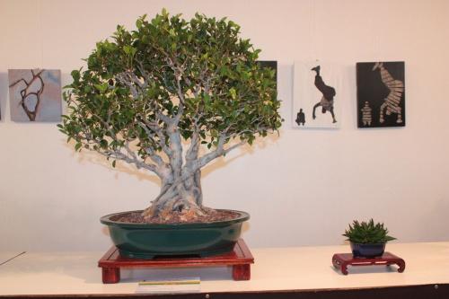 Bonsai Ficus Retusa - Jornadas Mediterraneas de Bonsai - torrevejense