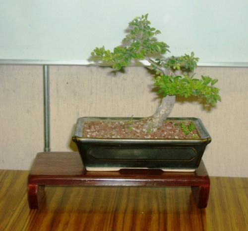 Bonsai olmo chino - don tonio
