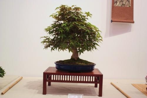 Bonsai Acer Palmatum - Victo Martinez - CBALICANTE