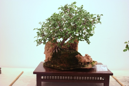 Bonsai Ulmus Minor - Miguel March - CBALICANTE
