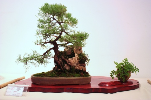 Bonsai Tamarix Hispanica - CBALICANTE