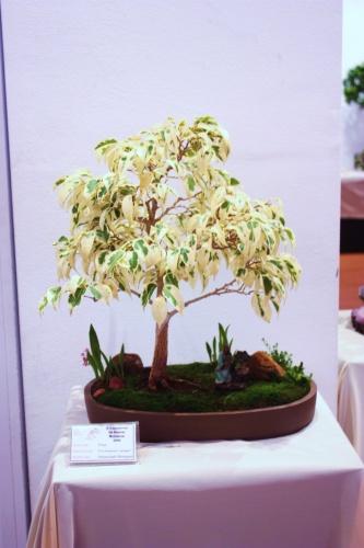 Bonsai Ficus Benjamina - Variegata - CBALICANTE