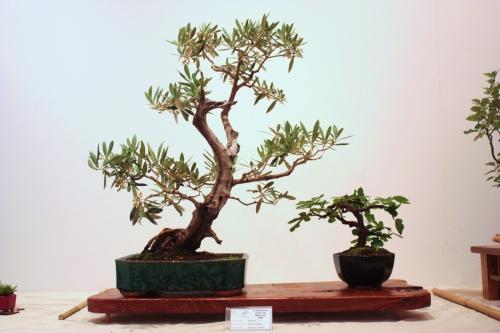 Bonsai Olea Europaea - Antonio Llorens - CBALICANTE