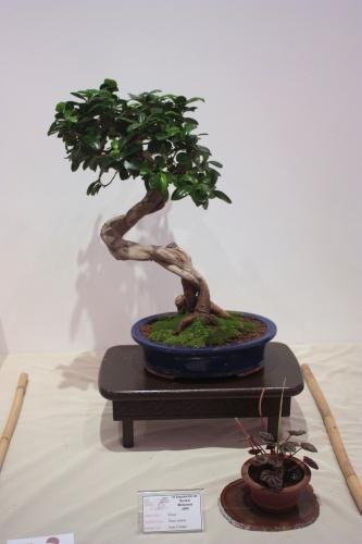 Bonsai Ficus Retusa de Juan Campo - CBALICANTE
