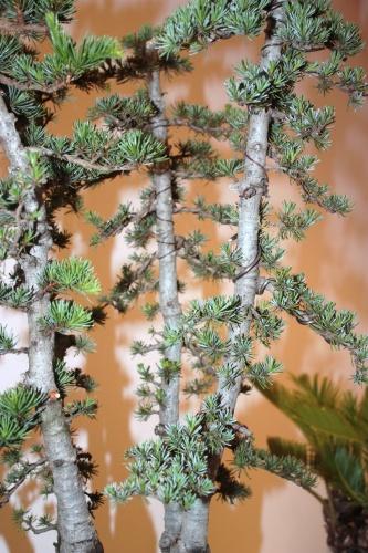 Bonsai Detalle del Bosque de Cedros - Jaume Canals - CBALICANTE
