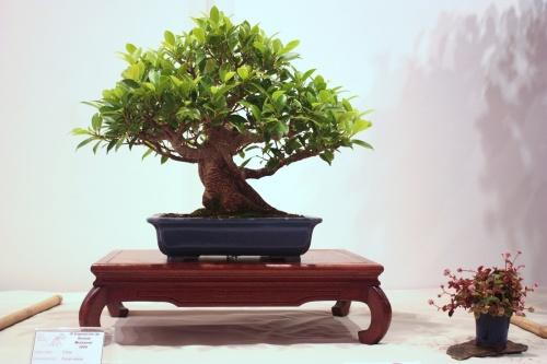 Bonsai Ficus Retusa - Jose Antonio Terol - CBALICANTE