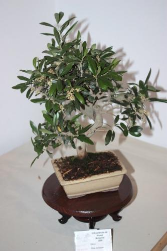 Bonsai Olivo de Juan Campo - CBALICANTE