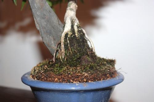Bonsai Raices Aereas Acer Palmatum - CBALICANTE
