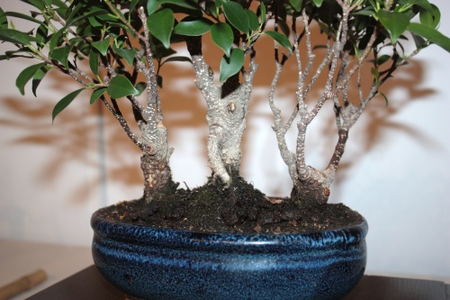 Bonsai Troncos de Ficus Retusa - CBALICANTE