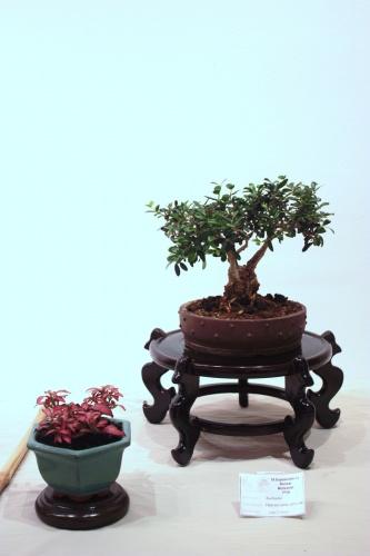 Bonsai Olea Europaea Silvestre - CBALICANTE