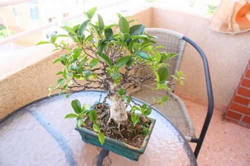Bonsai Ficus visto desde arriba - Miguel