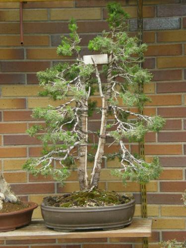 Bonsai Picea glauca cónica. - Sherpa