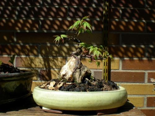 Bonsai Acer palmatum. - Sherpa
