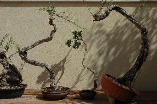 Bonsai ULLASTRE-ACEBUCHE-YAMADORI - VICENTE RODRIGUEZ