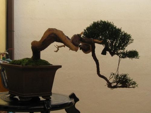 Bonsai Junipero Chinensis - Jerónimo Millán Gutiérrez