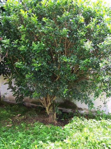 Murraua paniculata 1