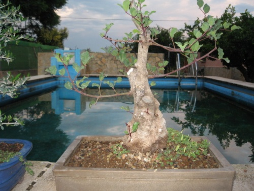 Bonsai garrofera[#Sin Ttulo#] - daniel romero zayas