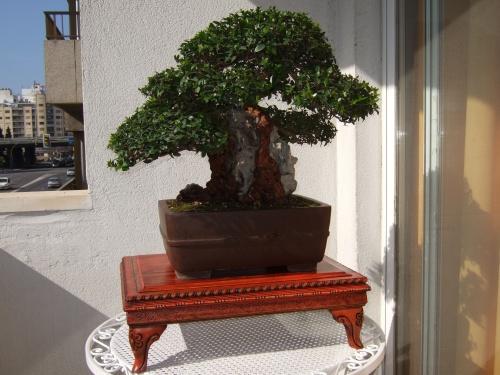 Bonsai 2884 - mihogo