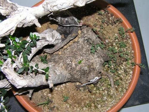 Bonsai Ullastre - Pedroboticario