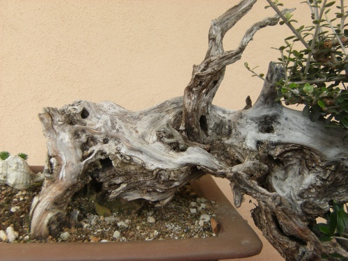Bonsai ullastre - selletepico