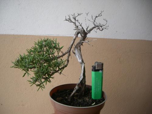 Bonsai 3904 - mihogo
