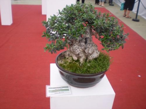 Bonsai EXPO FELAB BS AS 2009 - Andres Bicocca